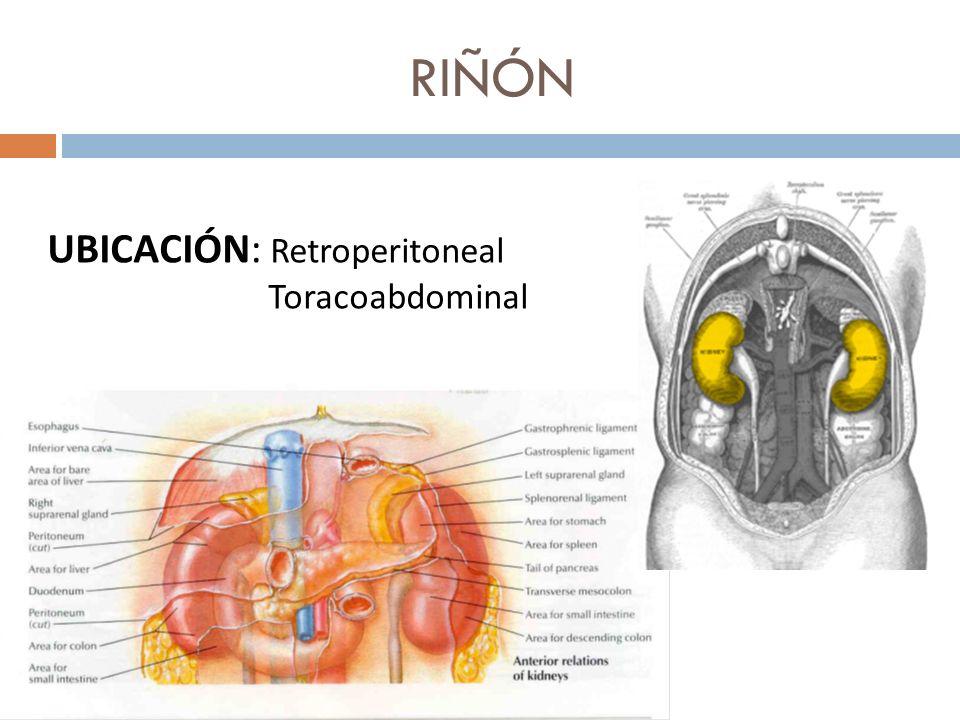 RIÑÓN UBICACIÓN: Retroperitoneal Toracoabdominal