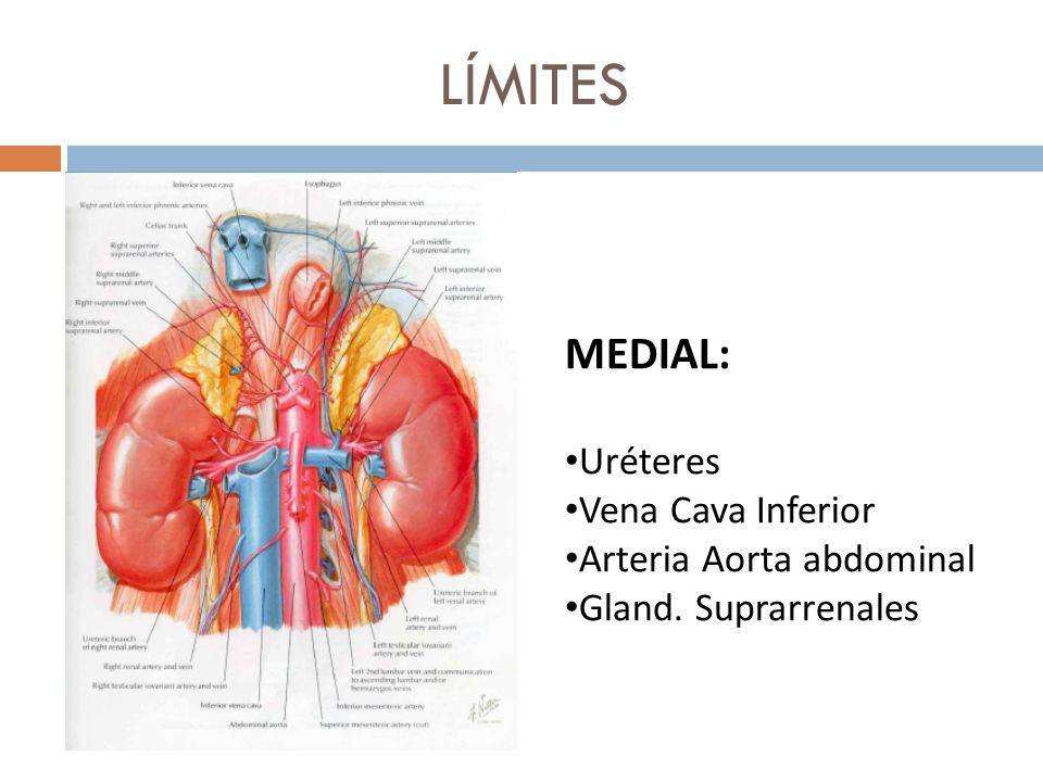 LÍMITES MEDIAL: Uréteres Vena Cava Inferior Arteria Aorta abdominal