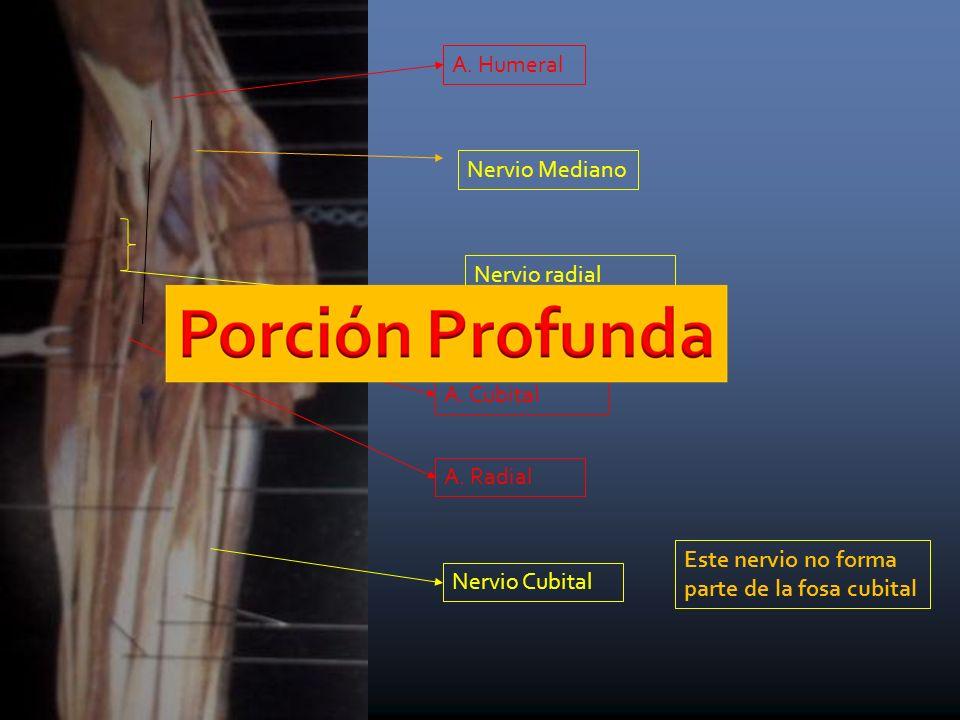Nervio radial (ramas que van al m. braquiorradial)