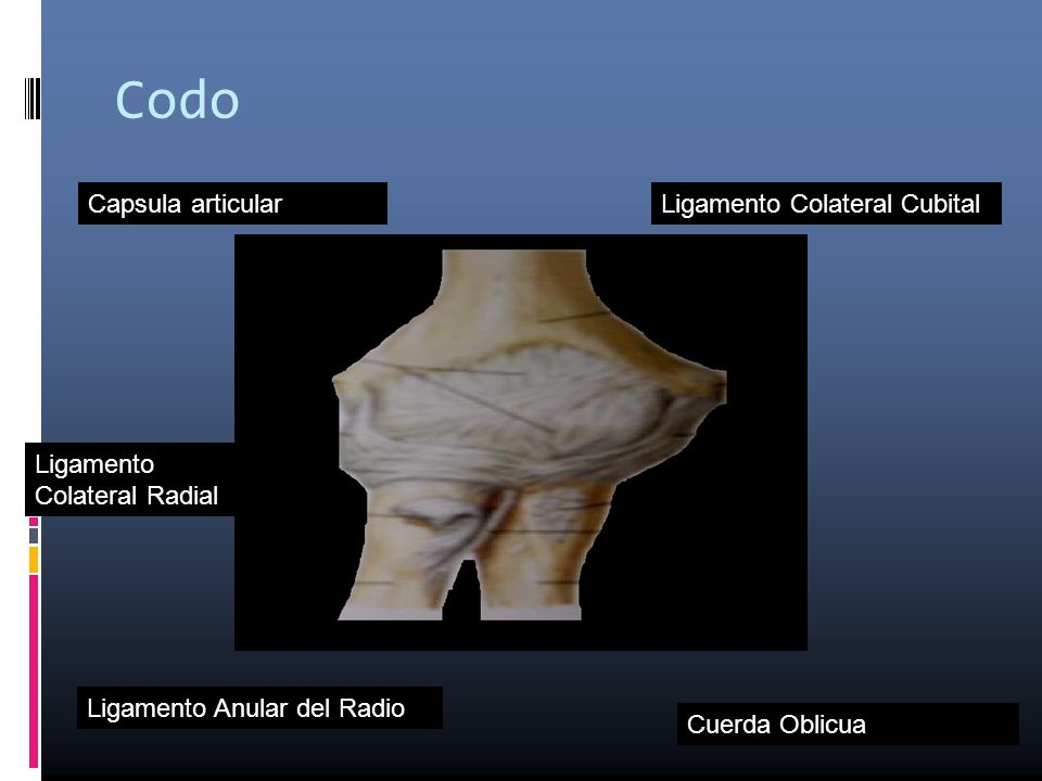 Codo Capsula articular Ligamento Colateral Cubital Ligamento