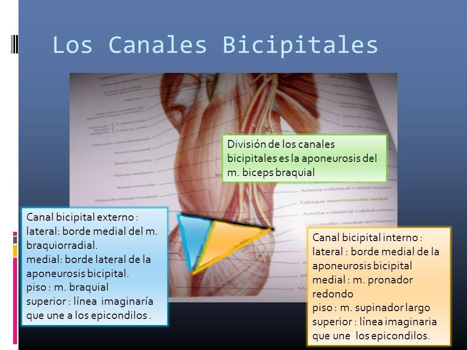 Los Canales Bicipitales