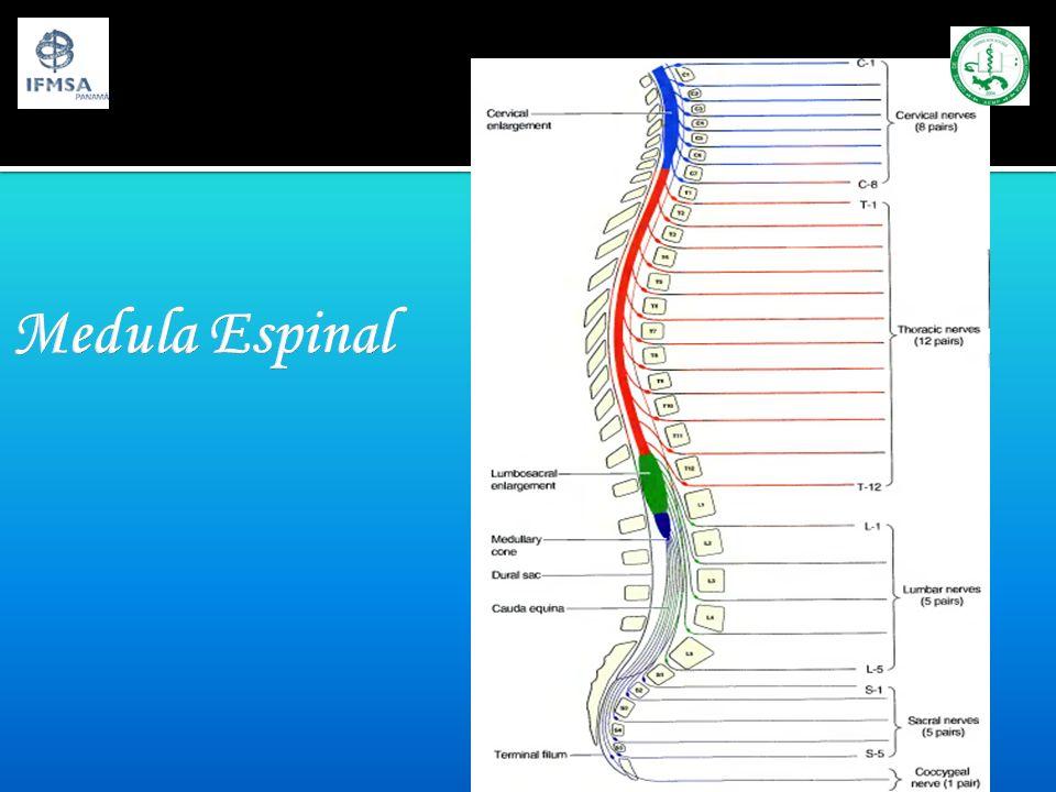 Medula Espinal Origina 31 pares de nervios raquídeos