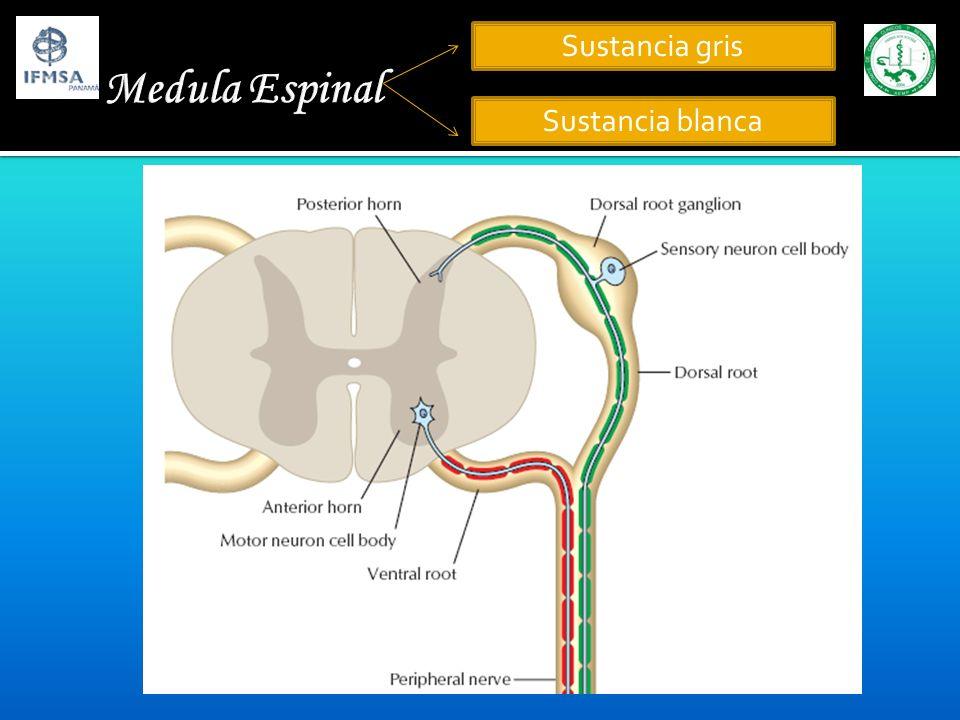 Medula Espinal Sustancia gris Sustancia blanca