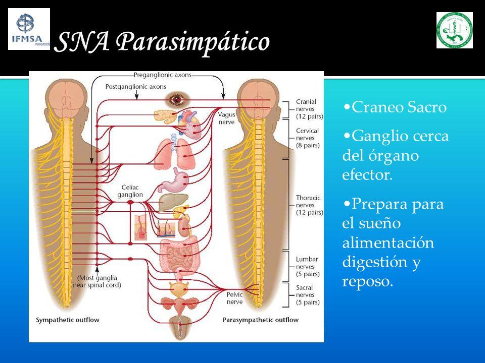 SNA Parasimpático Craneo Sacro Ganglio cerca del órgano efector.