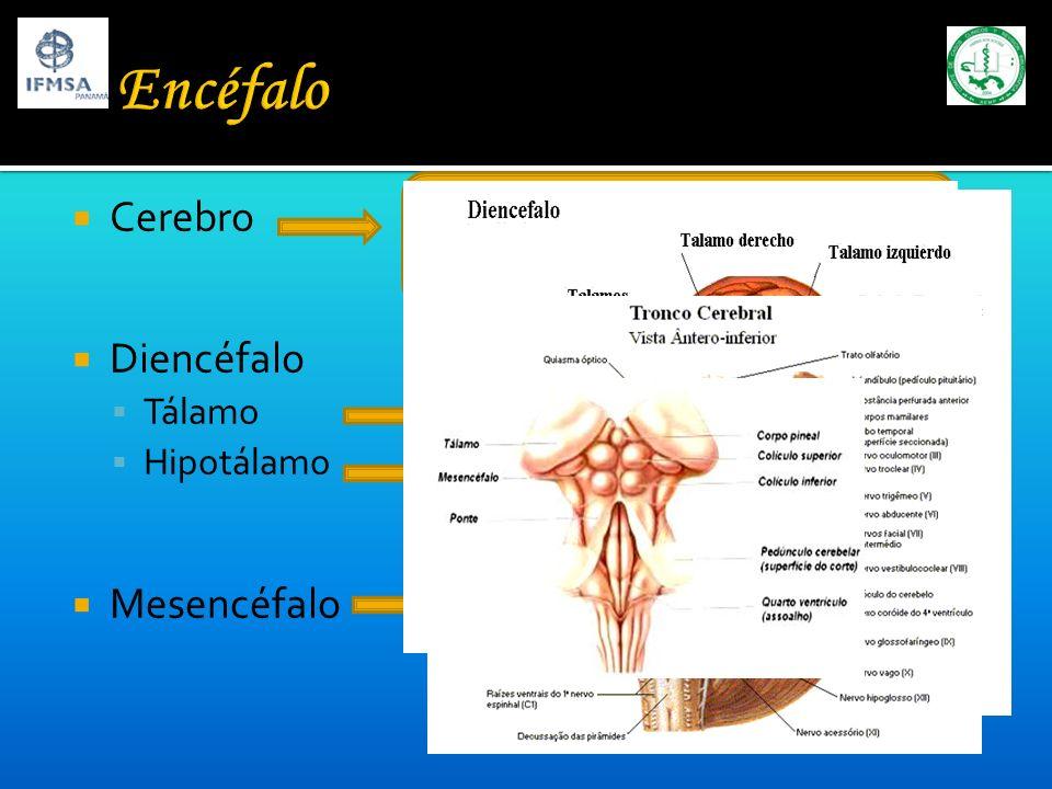 Encéfalo Cerebro Diencéfalo Mesencéfalo Tálamo Hipotálamo