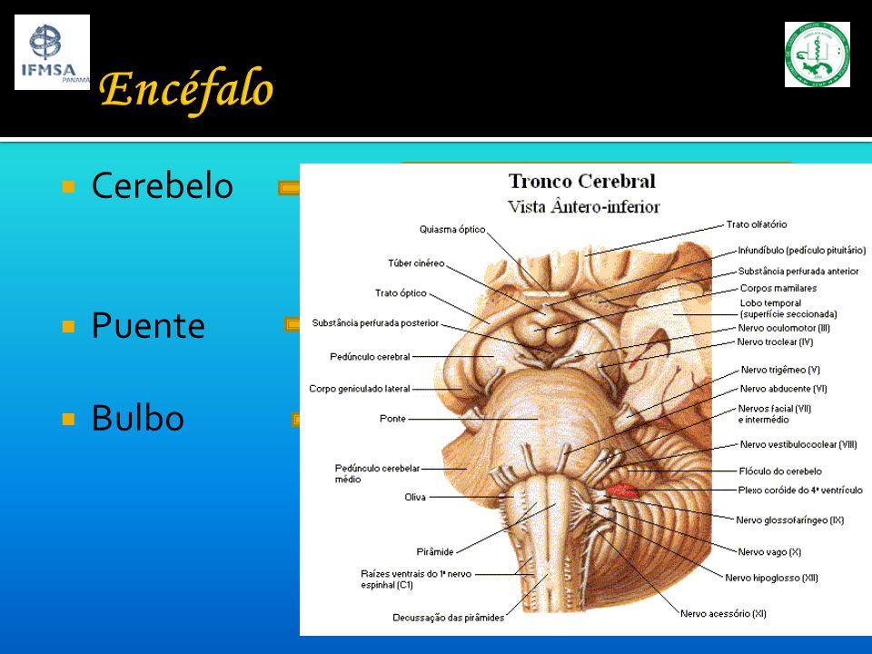 Encéfalo Cerebelo Puente Bulbo Ejecución y coordinación motora