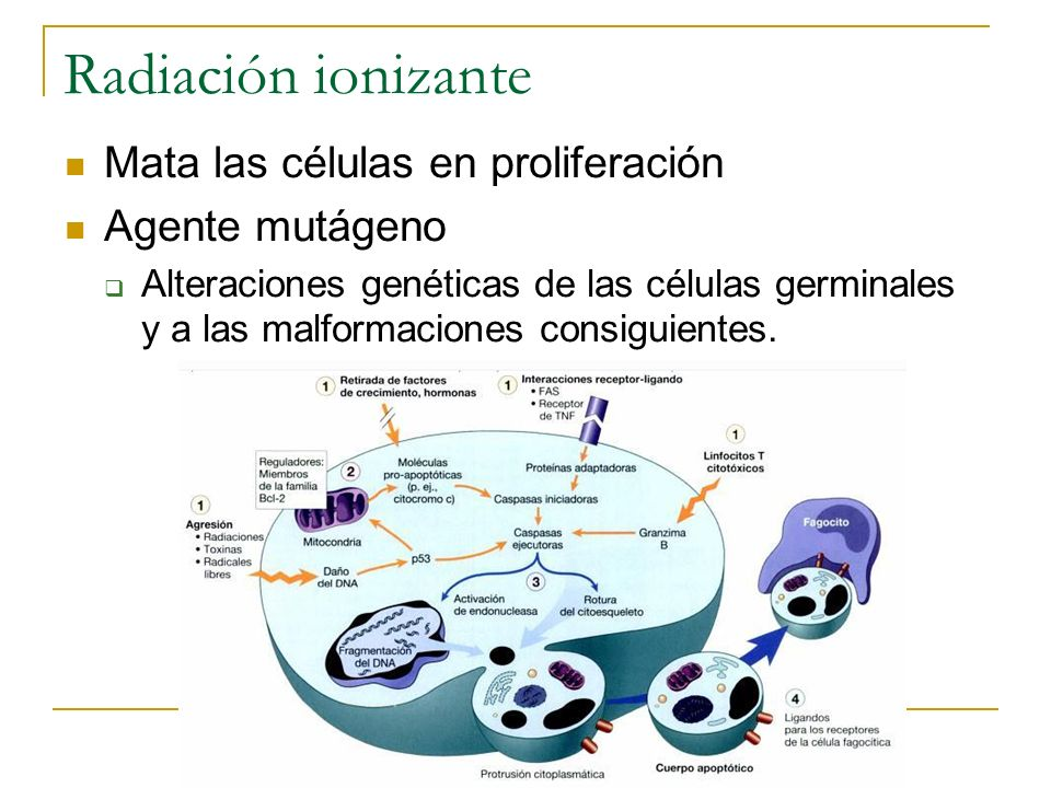 Radiación ionizante Mata las células en proliferación Agente mutágeno