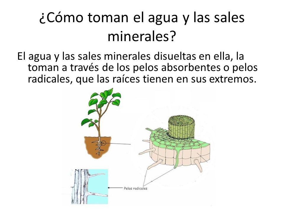 ¿Cómo toman el agua y las sales minerales
