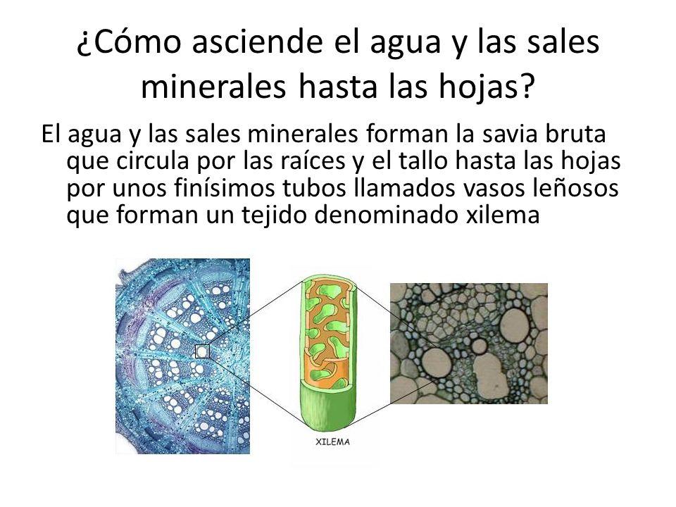 ¿Cómo asciende el agua y las sales minerales hasta las hojas