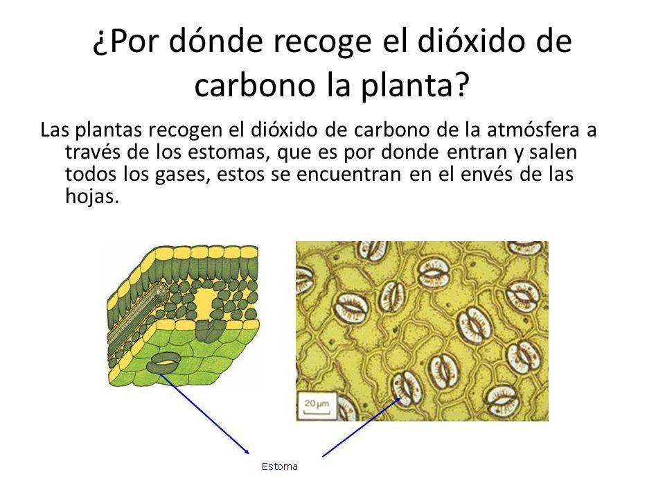 ¿Por dónde recoge el dióxido de carbono la planta