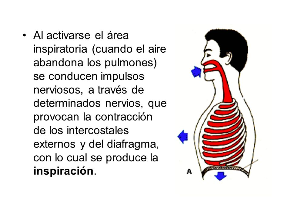 Al activarse el área inspiratoria (cuando el aire abandona los pulmones) se conducen impulsos nerviosos, a través de determinados nervios, que provocan la contracción de los intercostales externos y del diafragma, con lo cual se produce la inspiración.
