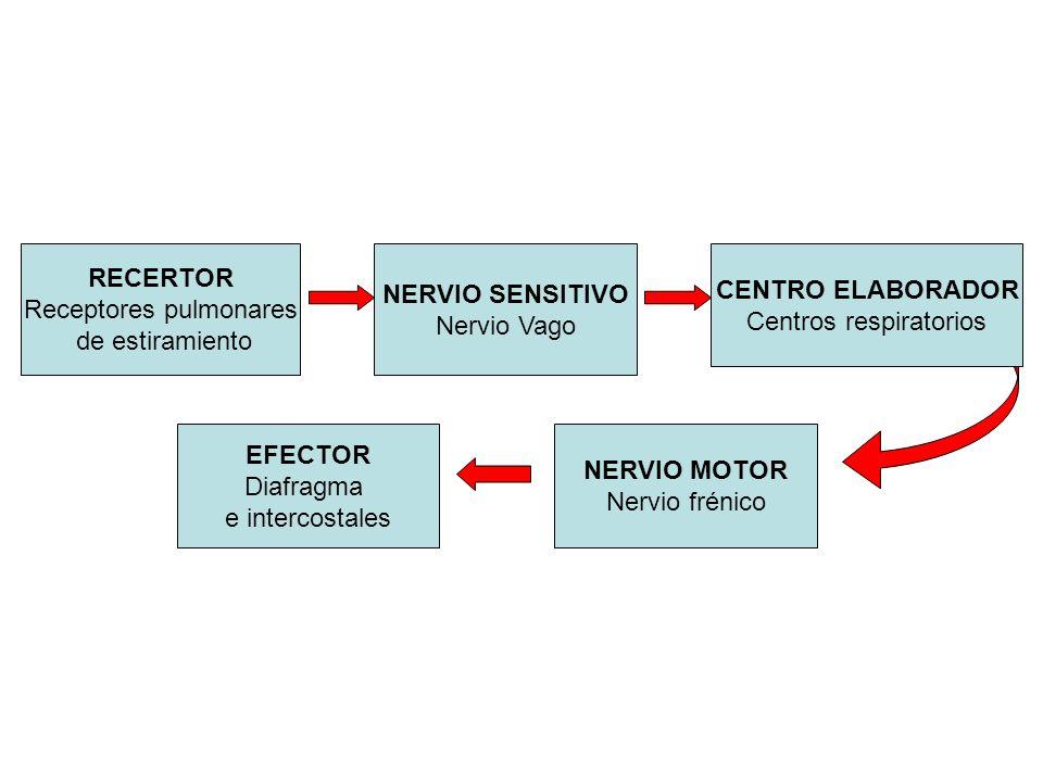 RECERTOR NERVIO SENSITIVO CENTRO ELABORADOR EFECTOR NERVIO MOTOR