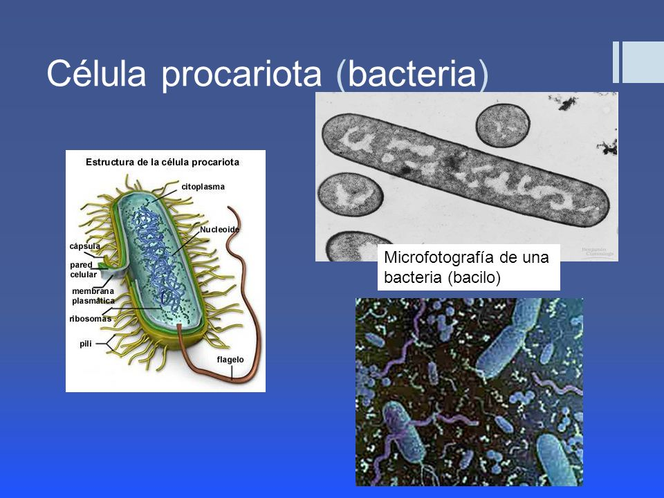 Célula procariota (bacteria)