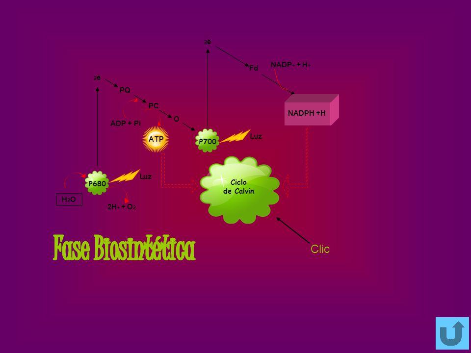 Fase Biosintética Clic NADP+ + H+ Fd PQ PC NADPH +H O ADP + Pi ATP