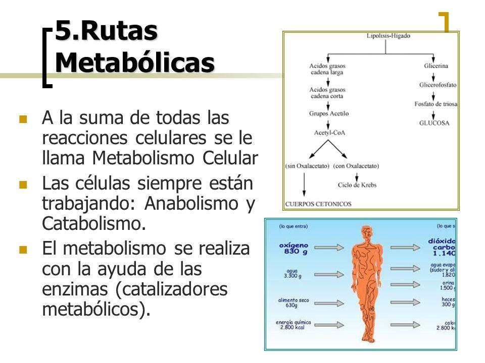 5.Rutas Metabólicas A la suma de todas las reacciones celulares se le llama Metabolismo Celular.