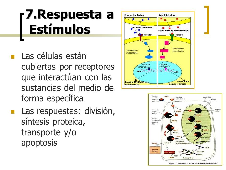 7.Respuesta a Estímulos Las células están cubiertas por receptores que interactúan con las sustancias del medio de forma específica.