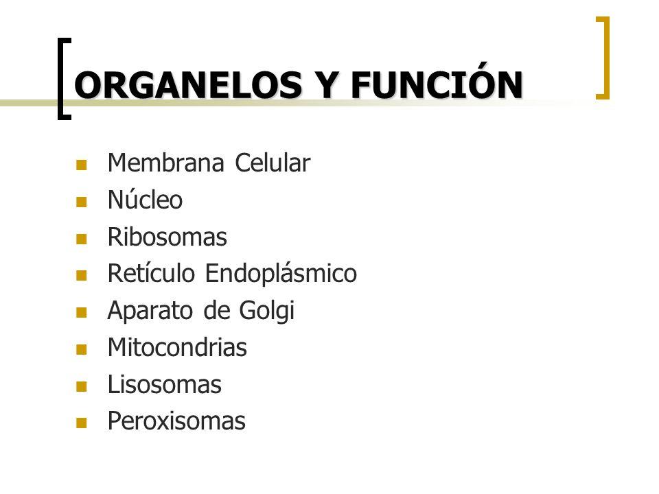 ORGANELOS Y FUNCIÓN Membrana Celular Núcleo Ribosomas