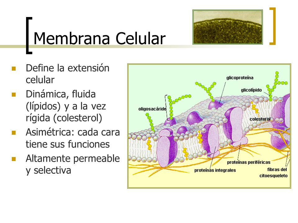 Membrana Celular Define la extensión celular