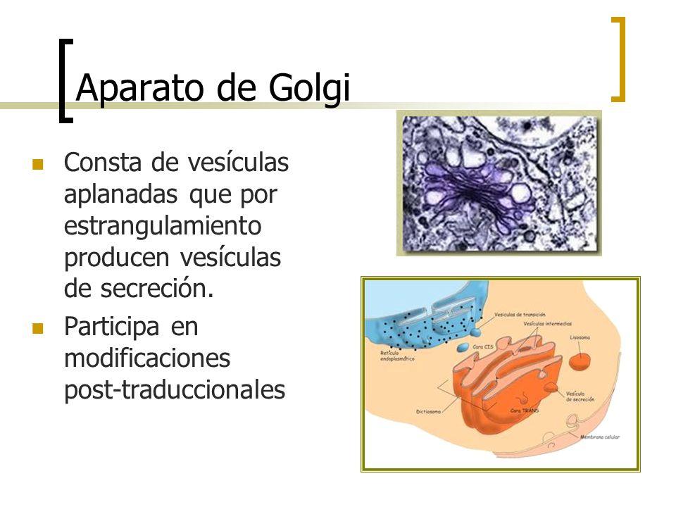 Aparato de Golgi Consta de vesículas aplanadas que por estrangulamiento producen vesículas de secreción.