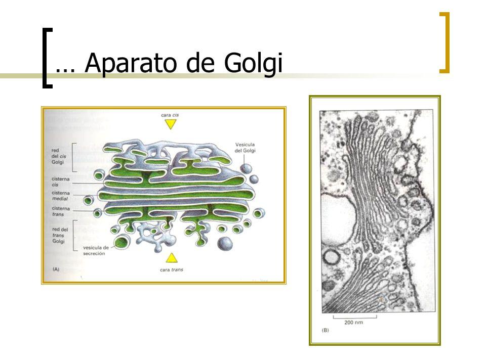 … Aparato de Golgi