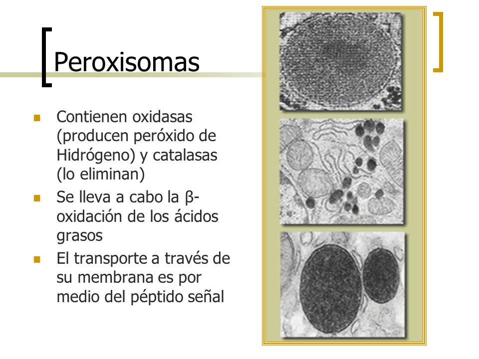 Peroxisomas Contienen oxidasas (producen peróxido de Hidrógeno) y catalasas (lo eliminan) Se lleva a cabo la β-oxidación de los ácidos grasos.