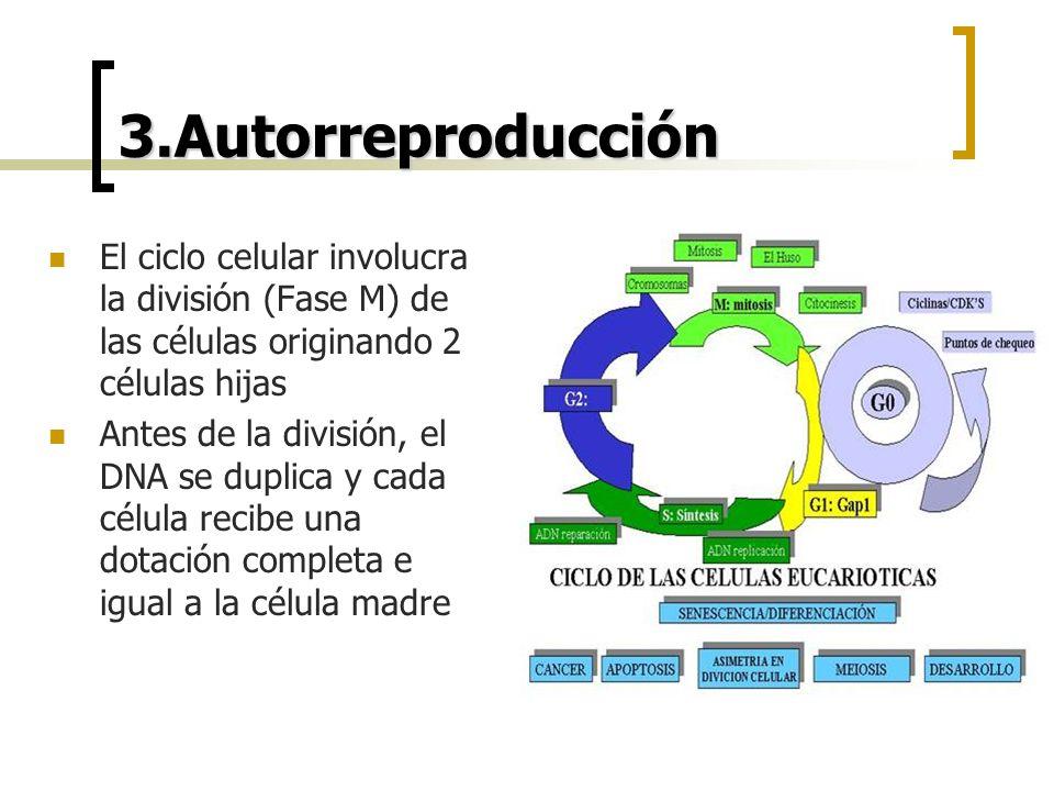 3.Autorreproducción El ciclo celular involucra la división (Fase M) de las células originando 2 células hijas.