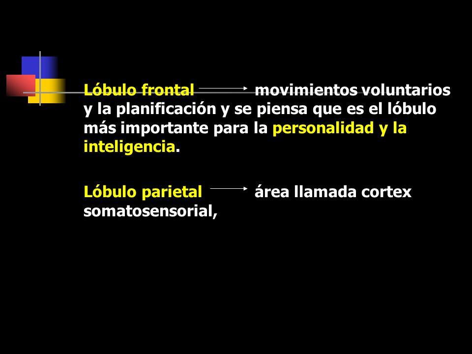Lóbulo frontal movimientos voluntarios y la planificación y se piensa que es el lóbulo más importante para la personalidad y la inteligencia.