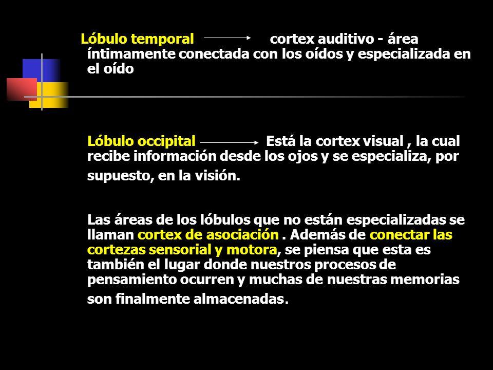 Lóbulo temporal cortex auditivo - área íntimamente conectada con los oídos y especializada en el oído