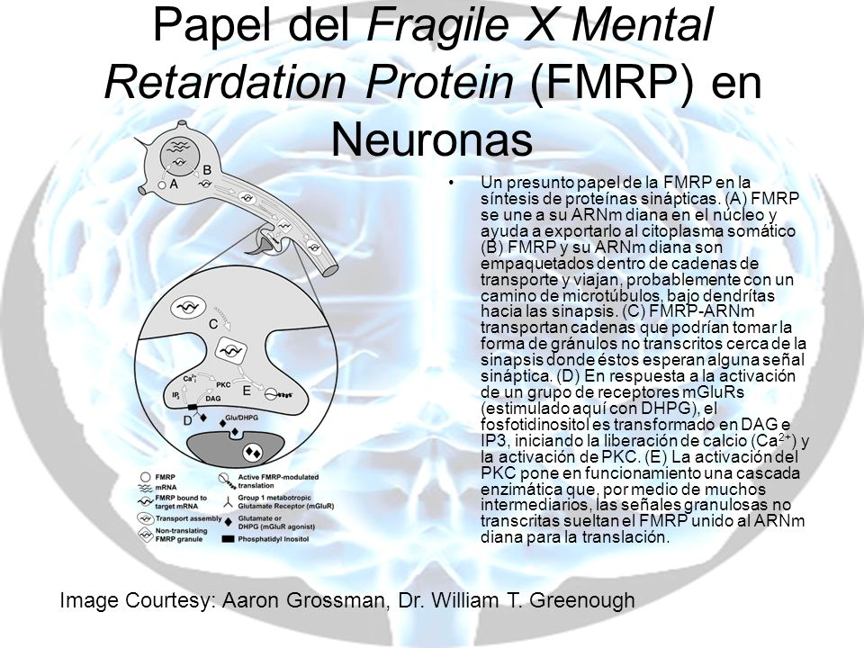 Papel del Fragile X Mental Retardation Protein (FMRP) en Neuronas