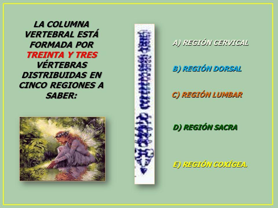 LA COLUMNA VERTEBRAL ESTÁ FORMADA POR TREINTA Y TRES VÉRTEBRAS DISTRIBUIDAS EN CINCO REGIONES A SABER: