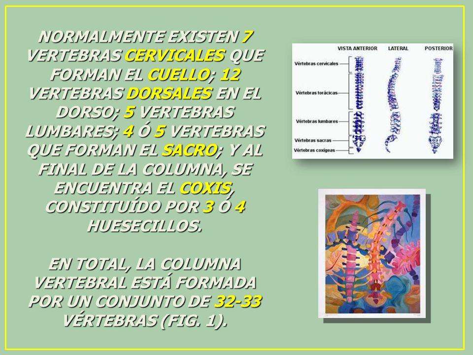 NORMALMENTE EXISTEN 7 VERTEBRAS CERVICALES QUE FORMAN EL CUELLO; 12 VERTEBRAS DORSALES EN EL DORSO; 5 VERTEBRAS LUMBARES; 4 Ó 5 VERTEBRAS QUE FORMAN EL SACRO; Y AL FINAL DE LA COLUMNA, SE ENCUENTRA EL COXIS, CONSTITUÍDO POR 3 Ó 4 HUESECILLOS.