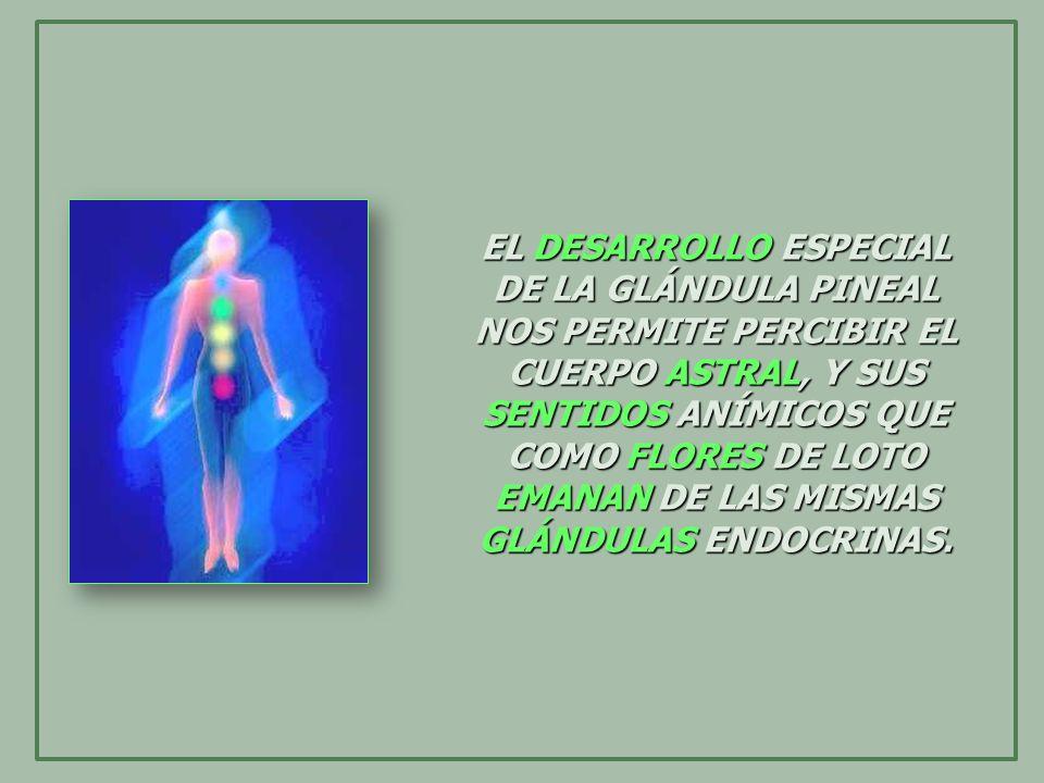 EL DESARROLLO ESPECIAL DE LA GLÁNDULA PINEAL NOS PERMITE PERCIBIR EL CUERPO ASTRAL, Y SUS SENTIDOS ANÍMICOS QUE COMO FLORES DE LOTO EMANAN DE LAS MISMAS GLÁNDULAS ENDOCRINAS.