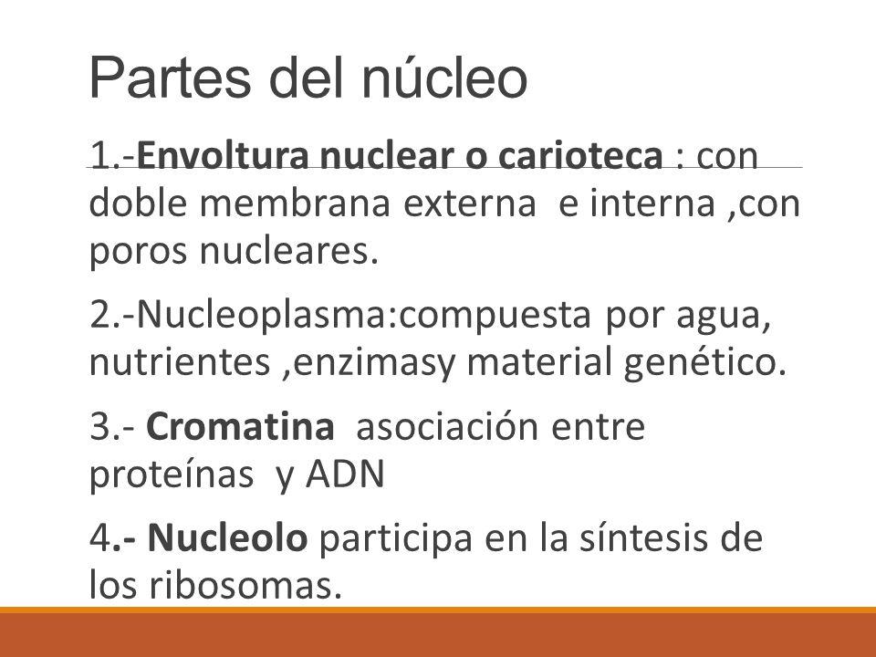 Partes del núcleo 1.-Envoltura nuclear o carioteca : con doble membrana externa e interna ,con poros nucleares.