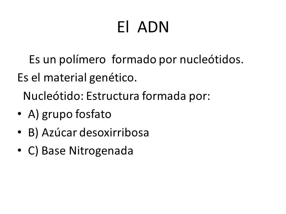 El ADN Es un polímero formado por nucleótidos.
