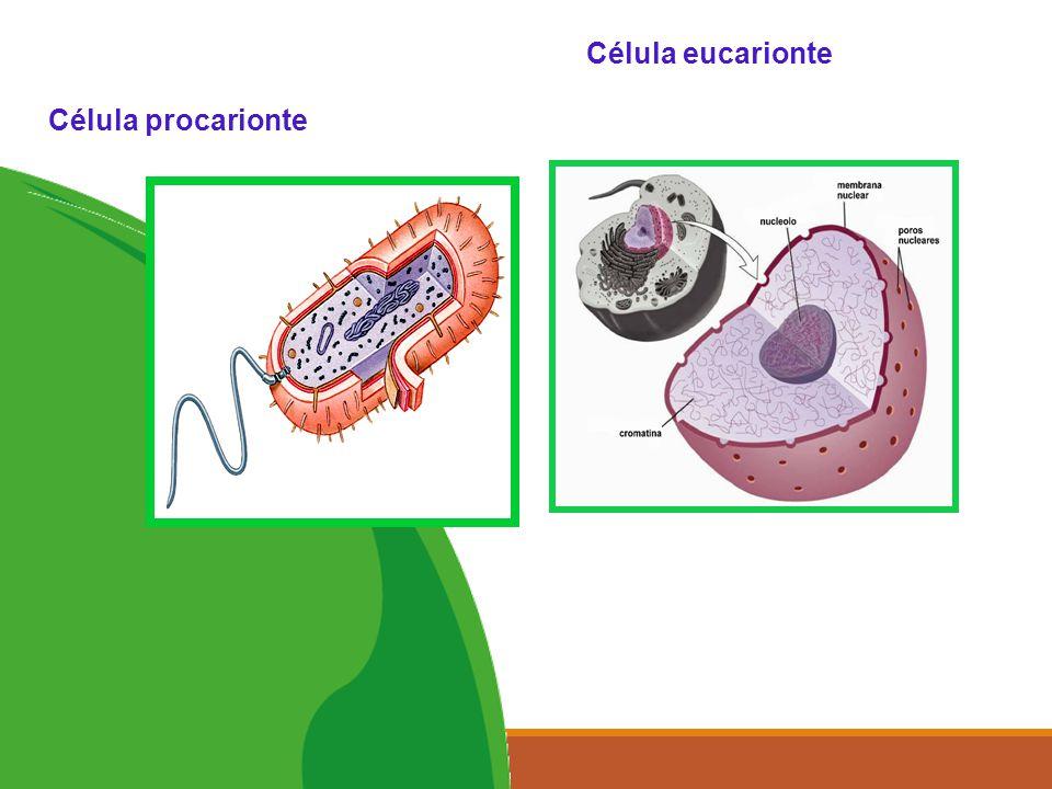 5 Célula eucarionte Célula procarionte
