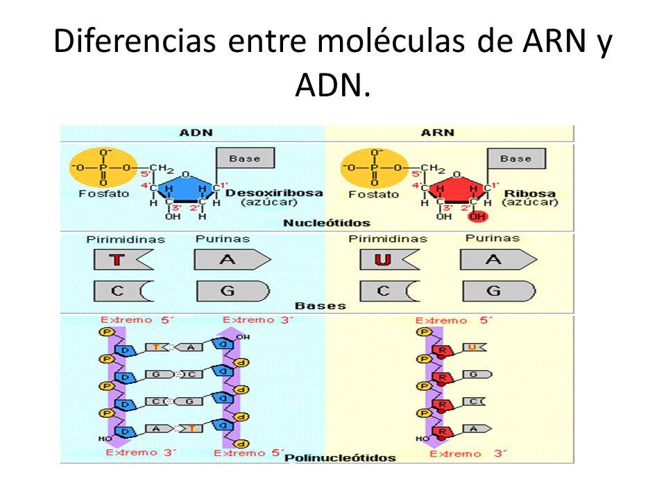 Diferencias entre moléculas de ARN y ADN.