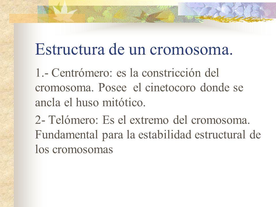Estructura de un cromosoma.