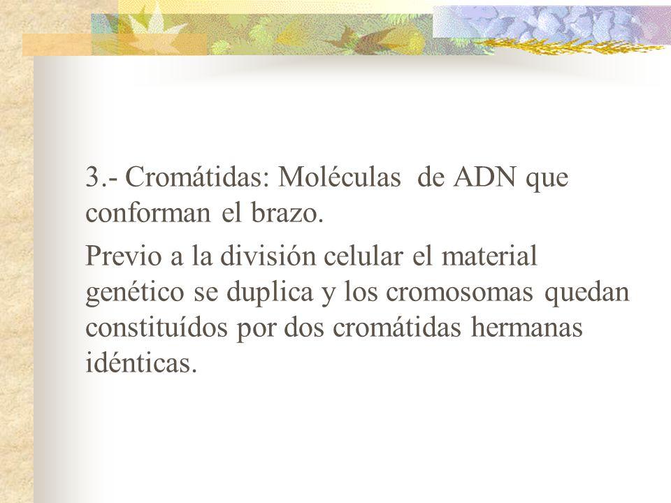 3. - Cromátidas: Moléculas de ADN que conforman el brazo