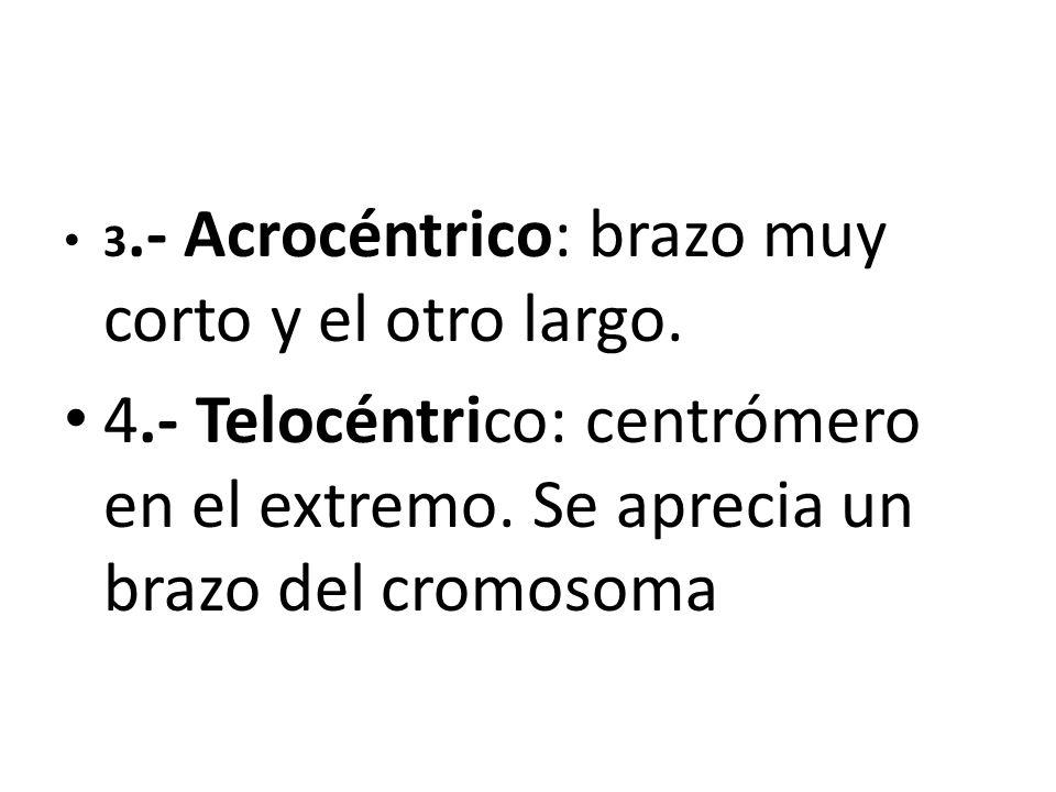 3.- Acrocéntrico: brazo muy corto y el otro largo.