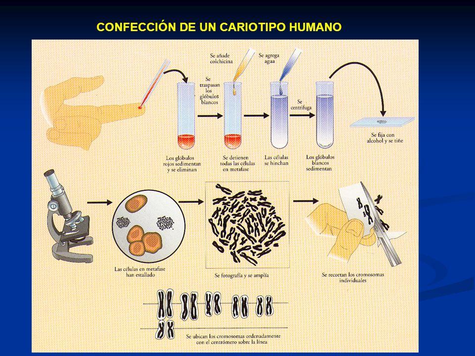 CONFECCIÓN DE UN CARIOTIPO HUMANO