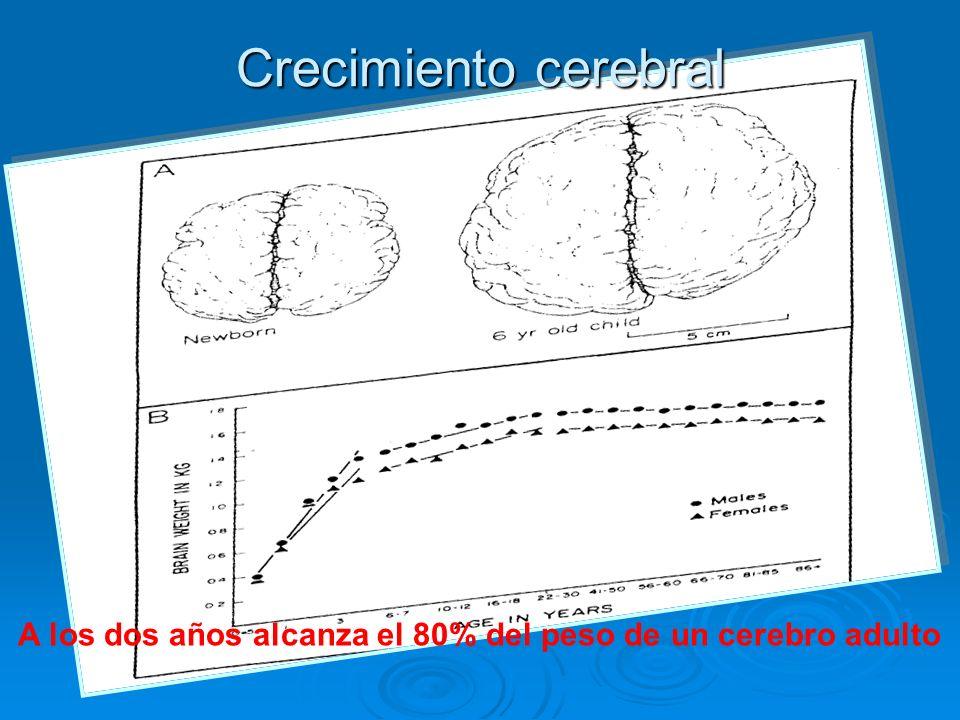 Crecimiento cerebral A los dos años alcanza el 80% del peso de un cerebro adulto