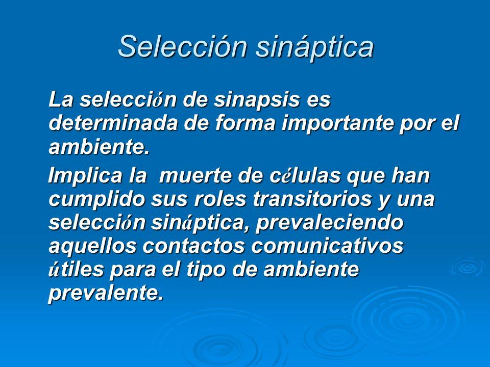 Selección sináptica La selección de sinapsis es determinada de forma importante por el ambiente.