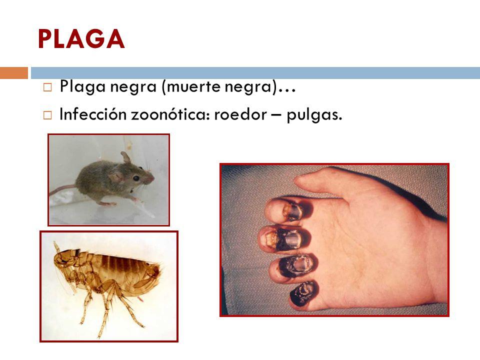 PLAGA Plaga negra (muerte negra)…