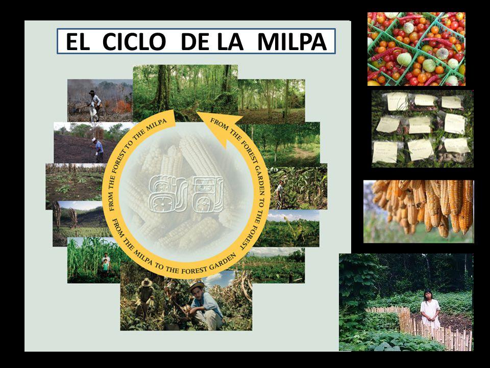 EL CICLO DE LA MILPA