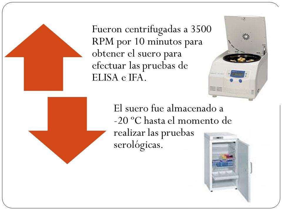 Fueron centrifugadas a 3500 RPM por 10 minutos para obtener el suero para efectuar las pruebas de ELISA e IFA.