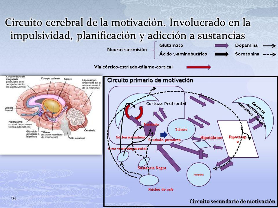 Corteza asociación sensitivo motora