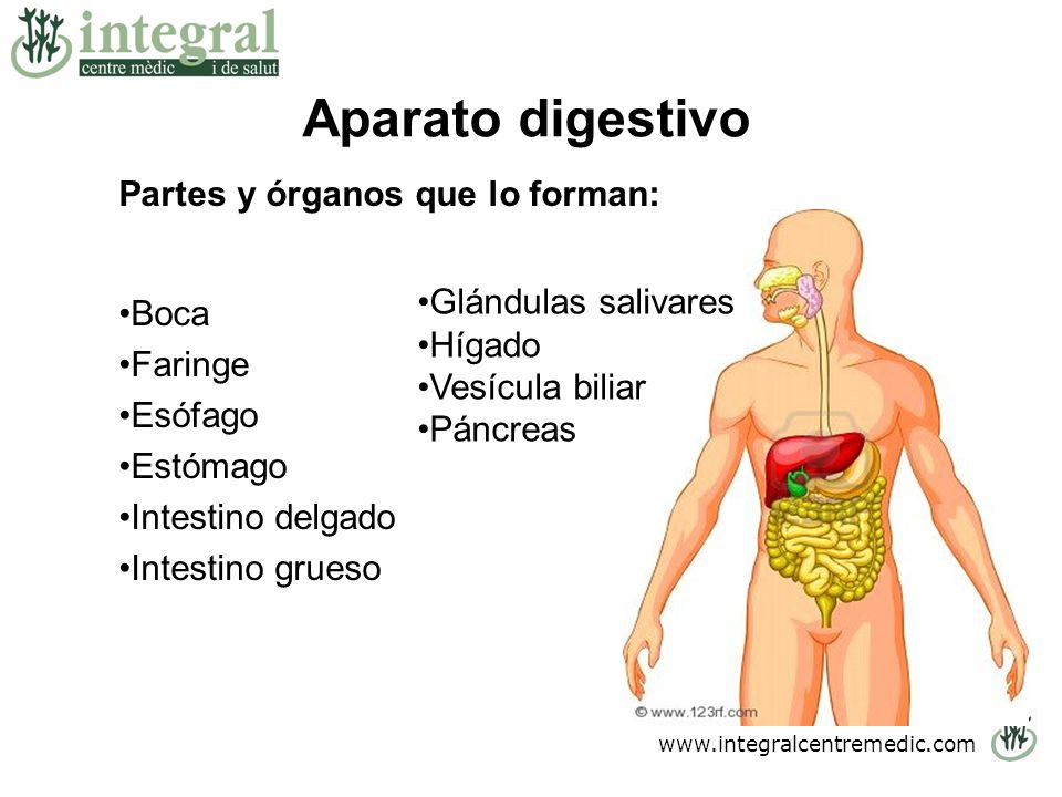 Aparato digestivo Partes y órganos que lo forman: Boca Faringe Esófago