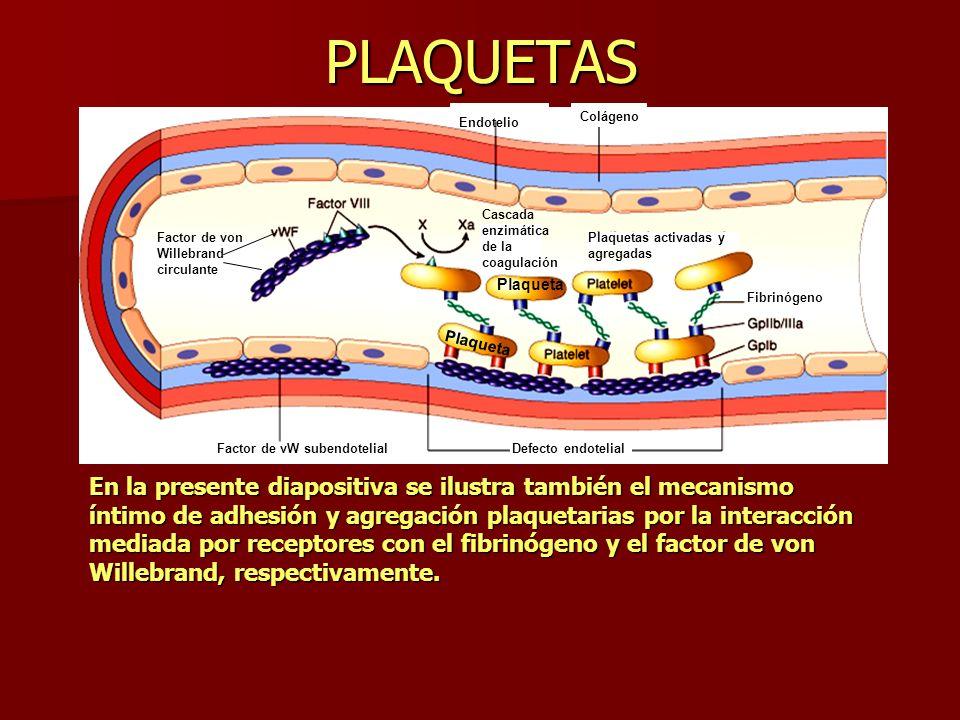 PLAQUETAS Colágeno. Endotelio. Cascada enzimática de la coagulación. Factor de von Willebrand circulante.