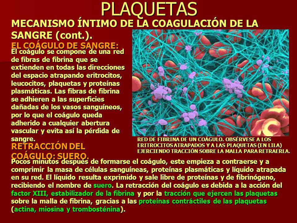 PLAQUETAS MECANISMO ÍNTIMO DE LA COAGULACIÓN DE LA SANGRE (cont.).