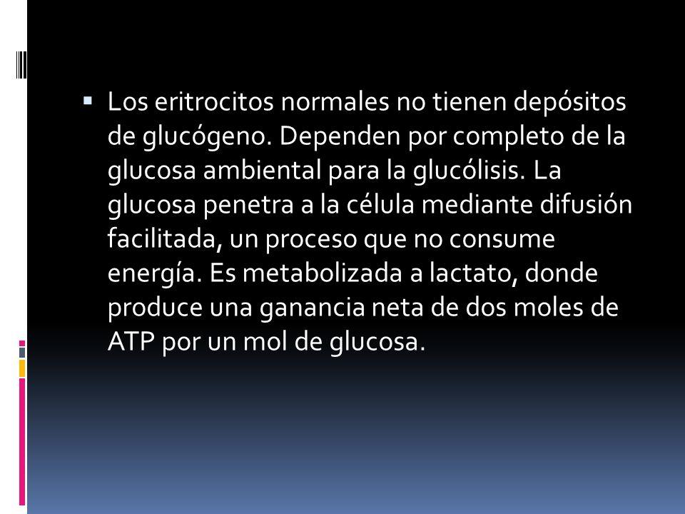 Los eritrocitos normales no tienen depósitos de glucógeno